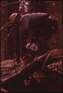 """In August, 1973 a major forest fire swept through 17,470 acres of the western slopes of the Sierra Mountain Range near Sonora. In post-fire salvage operation, a """"faller"""" cuts down flame-damaged trees, September 1973"""