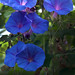 blue flowers (Morning glory )