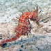 Northern Seahorse - Photo (c) Kevin Bryant, some rights reserved (CC BY-NC-SA)