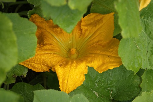 Pumpkin Blossoms 3