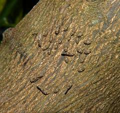 Bark Lice Psocoptera of Whitsunday Shire