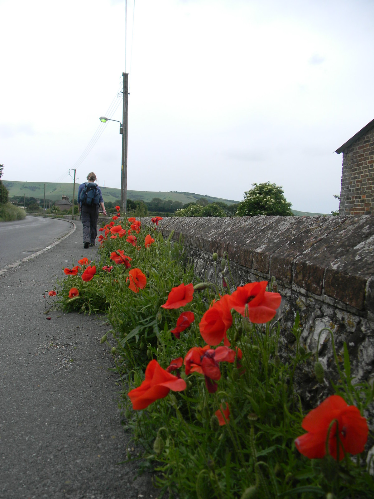Poppies and flint wall Glynde Lewes to Berwick