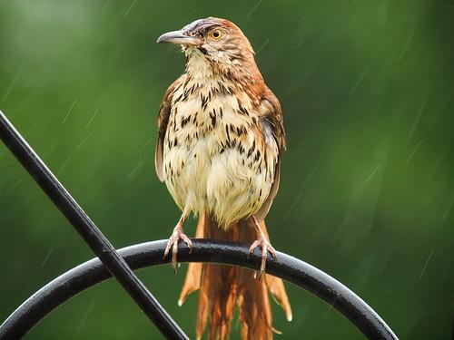 bird rain © brownthrasher backyardbirds feederbirds garyburke 14xtc olympuse620 zuiko50200mmf28swd feederbirdsofnorthcarolina raindrenchedbrownthrasher