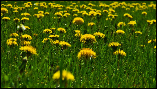 Dandelions from Ground Level