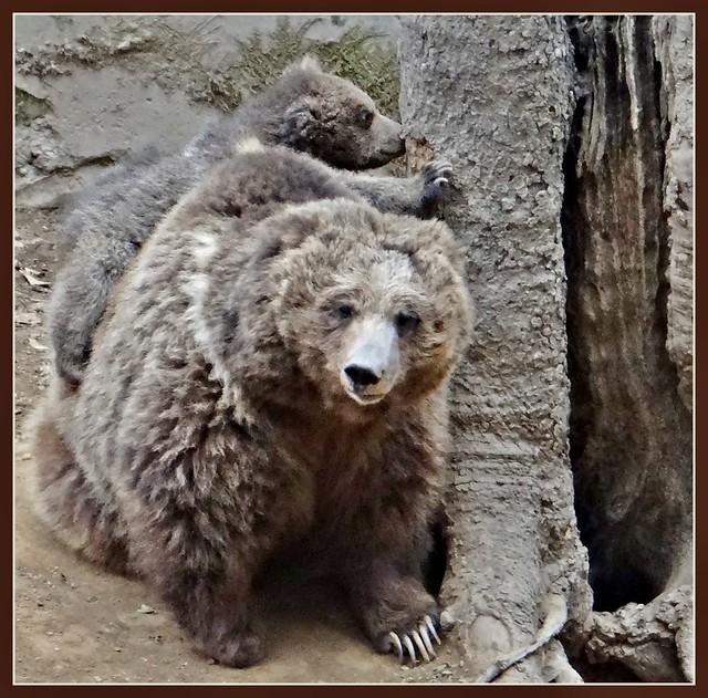 Himalayan Brown Bear and Cute Cub