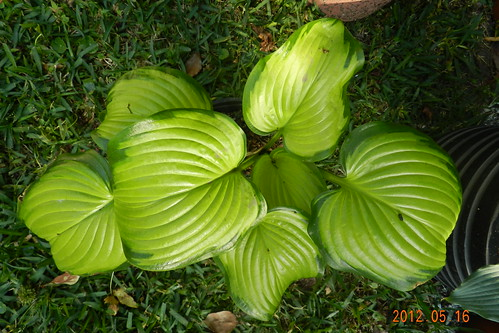 Hosta 'Stained Glass' #2