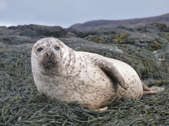 Common Seal, Dunvegan