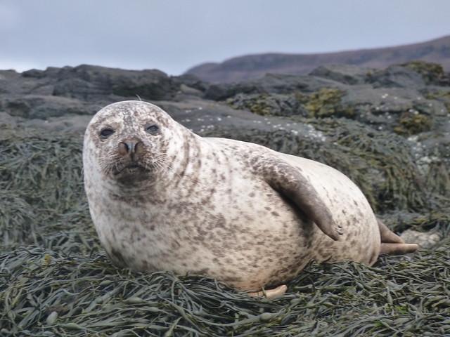 Common Seal, Dunvegan