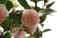 blossom(0.0), shrub(0.0), produce(0.0), camellia(1.0), camellia sasanqua(1.0), flower(1.0), branch(1.0), leaf(1.0), plant(1.0), flora(1.0), camellia japonica(1.0), theaceae(1.0), close-up(1.0), pink(1.0), petal(1.0),
