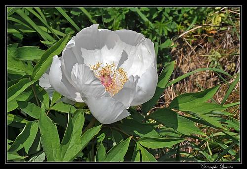 Pivoine arbustive (Paeonia suffruticosa)