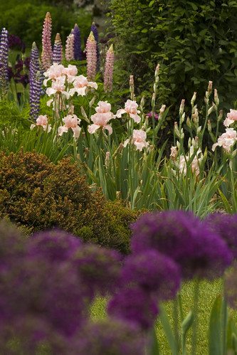 Peachy Iris and Allium V