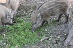 animal, peccary, wild boar, pig, fauna, pig-like mammal, wildlife,