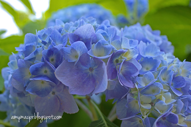 Blue Hydrangeas Memorial Day
