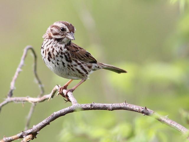 Song Sparrow 2-20120529