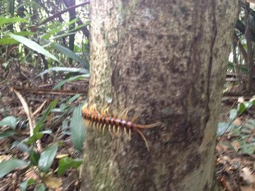Giant Centipedes