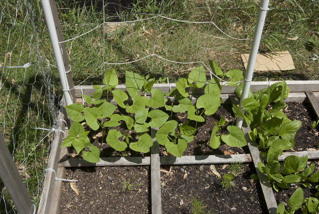 Square Foot Garden Blue Lake Pole Beans Flickr Photo
