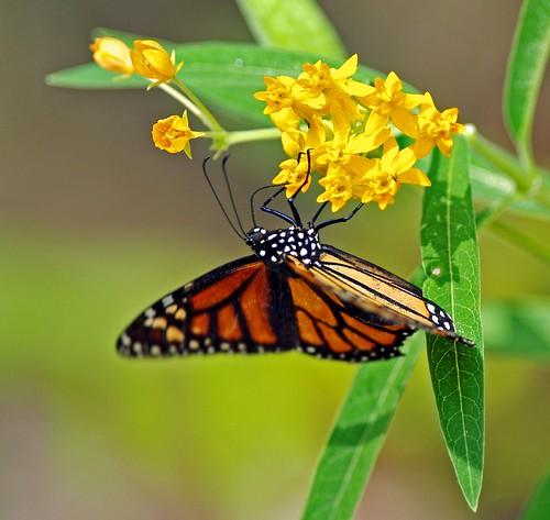 Monarch by masaiwarrior