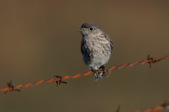 Young Bluebird_6929.jpg by Mully410 * Images