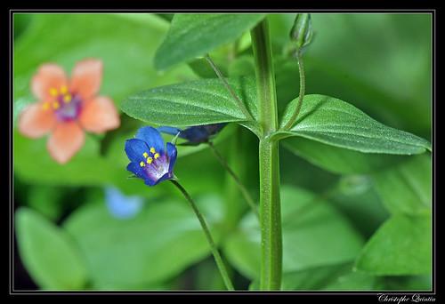 Mouron rouge, forme bleue (Anagallis arvensis)