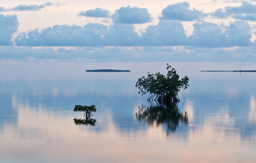 Mangrove Tree in Morning Light, Florida