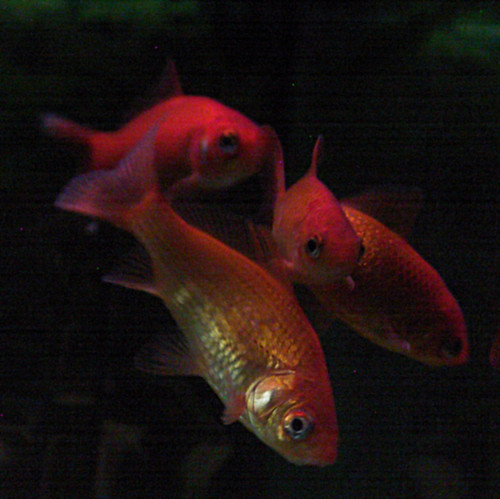 Goldfish Gathering by cin_kong