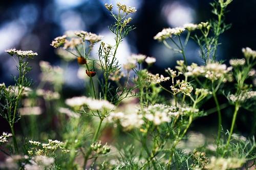 slr film austin insect 1 spring texas dof kodak bokeh olympus 35mmfilm ladybug ladybugs om wildflower om1 shallowdepthoffield zilkergardens ektar zilkerbotanicalgarden pushprocessing 50mmf35macro zuikomacro ektarpushedto400 ektarat400