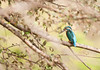 Common Kingfisher - Ranthambore National Park by ChetanRana