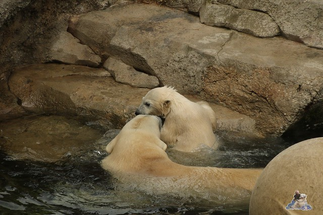Eisbär Lili im Zoo Bremerhaven 30.04.2016 Tei 1  129