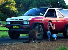 Kangaroo Island: Mezi lachtany, klokany a possumy