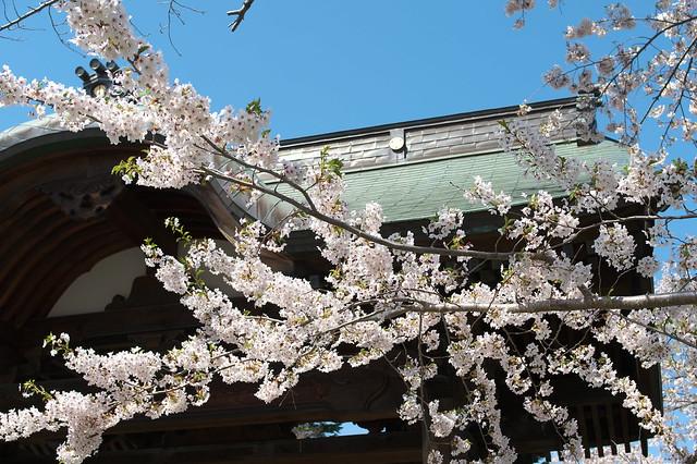 20160508天上寺の桜_04