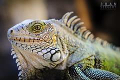 Iguana Arubana