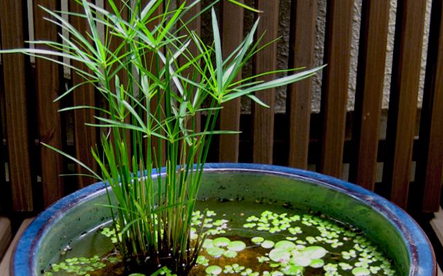 640x399 水生植物 ミニシペラス