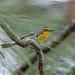 Grace's Warbler, La Concordia, Chiapas, Mexico