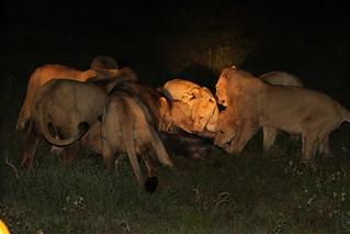 Löwen erlegen eine Antilope