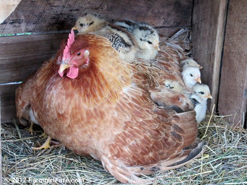 Lokey's chicks getting comfy 4 - FarmgirlFare.com