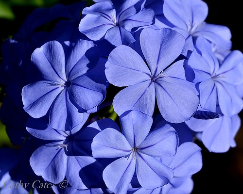 Blue Blooms