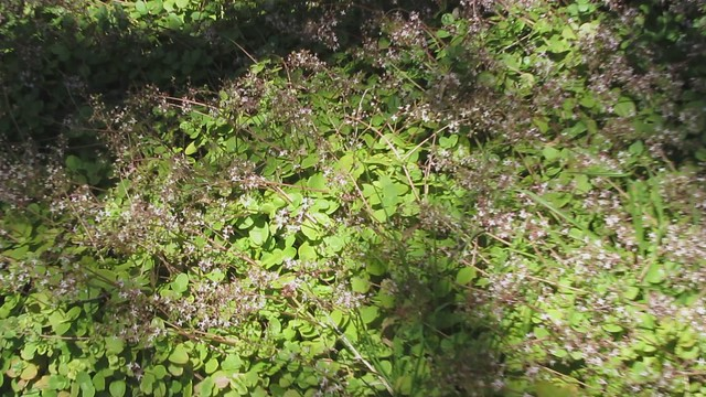 MVI_2861 Goleta oak moths on succulent blooms Stow House LLC
