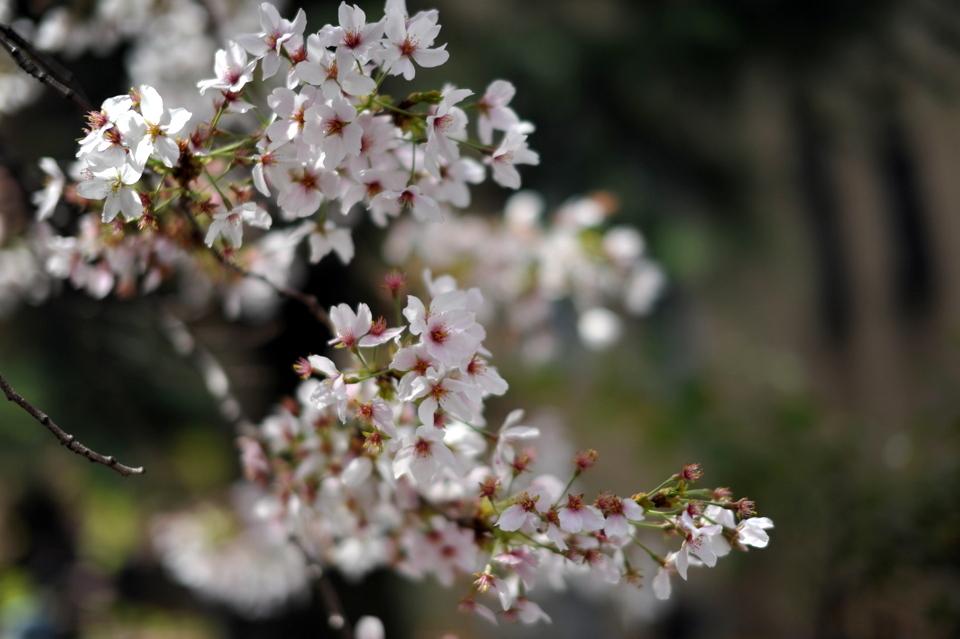 More sakura