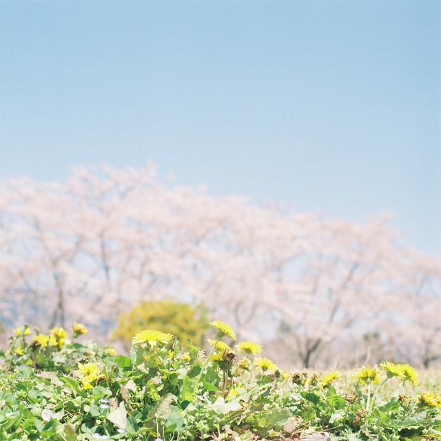 たんぽぽと桜