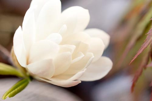 ヒメコブシ 開花