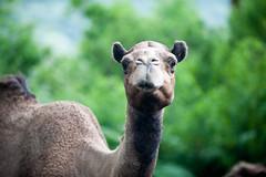 alpaca(0.0), arabian camel(0.0), animal(1.0), mammal(1.0), fauna(1.0), camel(1.0), wildlife(1.0),
