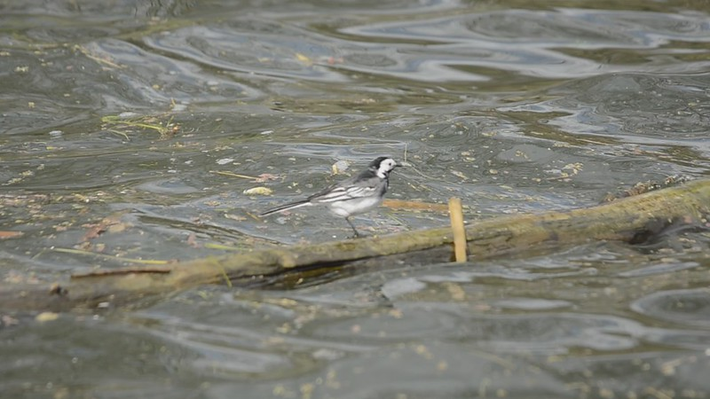 Pied Wagtail......only one on the log ride at a time.