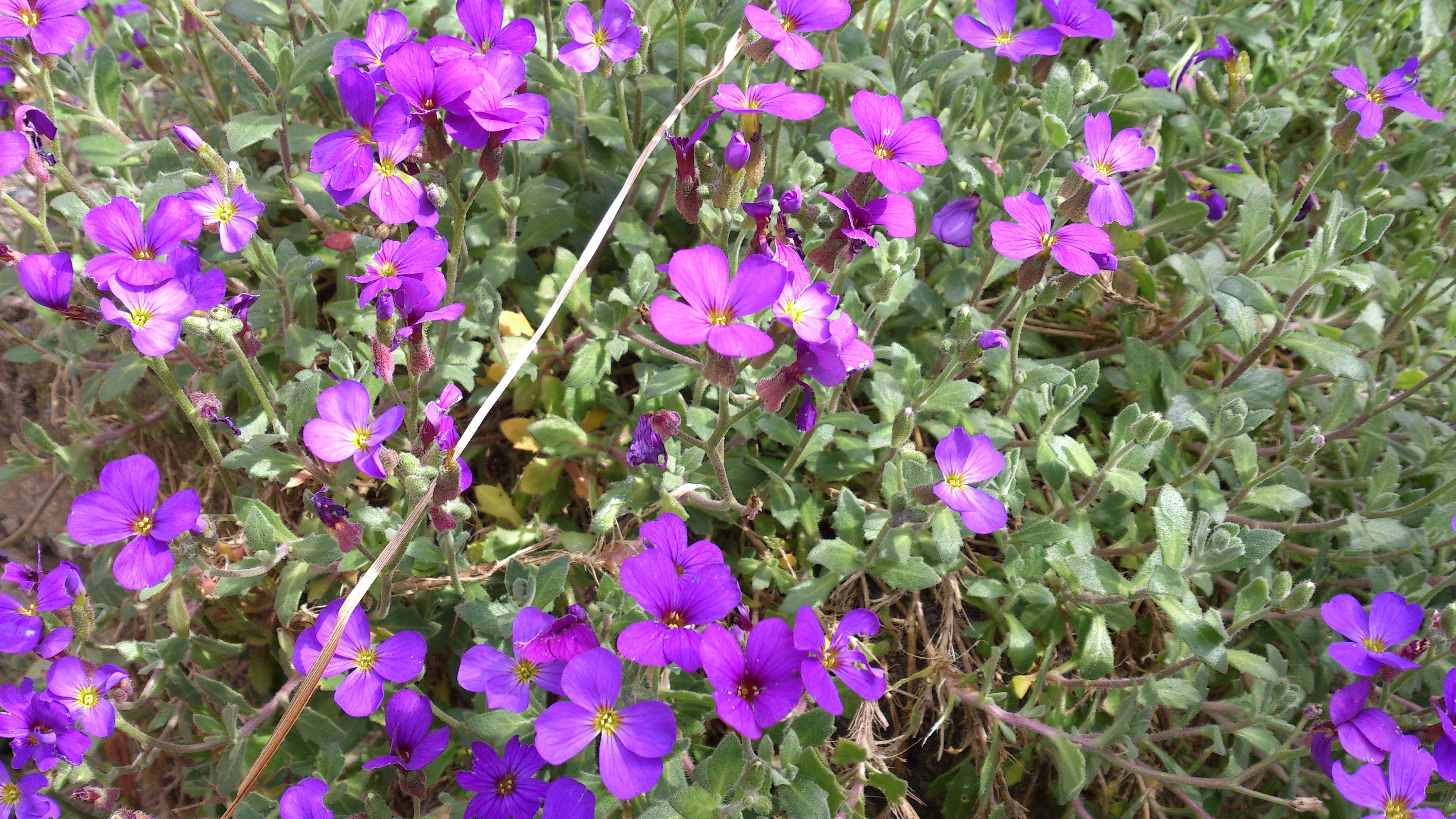 Pin Purple flowering bush pictures on Pinterest