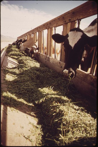 Livestock on EPA's experimental farm, May 1972