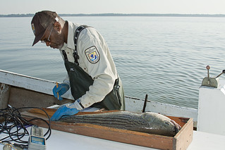 Albert Spells measures a striped bass; this one is longer than 28 inches and too big to keep. ©Janet Krenn/VASG