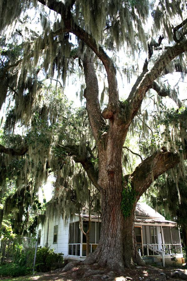 bmossytree