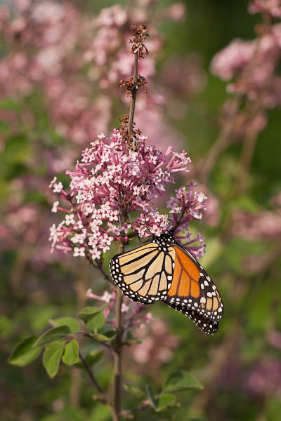 Monarch and Lilac Flowers