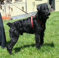 dog breed, animal, dog, pumi, pet, giant schnauzer, black russian terrier, schnauzer, carnivoran, terrier,