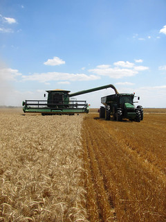 5-10 Wheat Collecting Grain