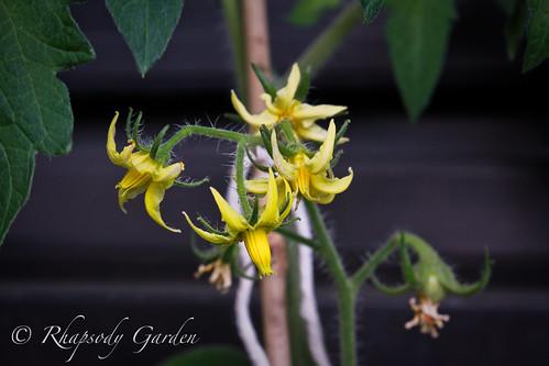 tomato blossoms